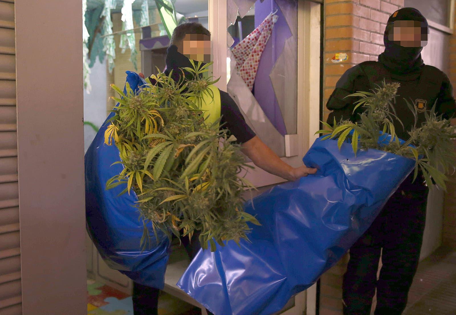 Els Mossos d'Esquadra treuen plantes de marihuana d'un pis del carrer Mallorca de Barcelona, el juny del 2015. Fotografia de Toni Albir. Efe.
